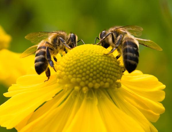 Por que a alergia à picada de abelha é perigosa?